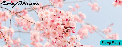 What Are Top Places To Observe The Cherry Blossoms 2021 In Hong Kong?